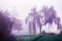 Weeping willow in the fog. Fantasy view of weeping willow and trees in the fog purple landscape background stock photography