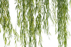 Weeping willow foliage. On a white background royalty free stock images