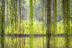 Weeping willow foliage. The slim willow branch with green leaves in spring royalty free stock images