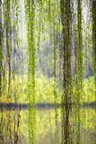 Weeping willow foliage Royalty Free Stock Image