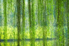 Weeping willow foliage. The slim willow branch with green leaves in spring stock image