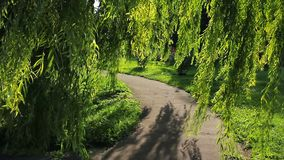Weeping willow stock video
