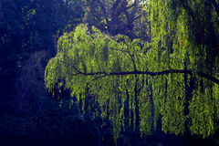 Weeping Willow Hanging Branch. Weeping willow branch with green leaves back lit in a park royalty free stock photos