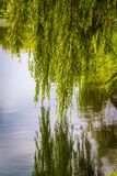 Willow over the water. A weeping willow hung over the surface of the water Royalty Free Stock Images