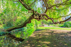 Weeping Willow Leaning Over New River Walk, London Royalty Free Stock Photography