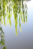 Weeping willow leaves Royalty Free Stock Images