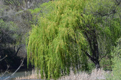 Weeping Willow. Lovely peaceful scene of a weeping willow on the banks of a lake in California royalty free stock photos