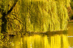 Weeping willow. Lovely weeping willow standing in the water royalty free stock photos