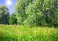 Weeping willow and meadow Stock Photography
