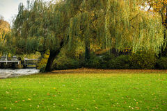 Weeping willow in Minnewater park in Bruges, Belgium. 2016 stock photography