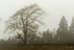 Weeping willow in mist. Weeping willow blowing in wind on foggy winter afternoon stock images