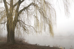 Weeping willow with misty lake. Weeping willow tree with yellow branches in early spring overhangs a misty lake. Horizontal with copy space royalty free stock images