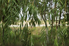 Weeping willow. Nature background forest Royalty Free Stock Photo