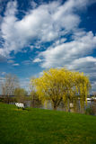 Weeping Willow Near Water's Edge Stock Photos