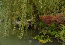 Weeping Willow Over the Deck on the Pond. A low hanging weeping willow hanging over a wooden deck on a secluded pond royalty free stock photo