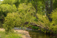 Weeping willow over the river Royalty Free Stock Image