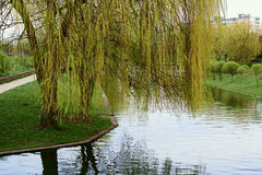 Weeping willow over the water. In the park Stock Image