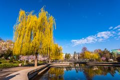 Weeping willow in the park Royalty Free Stock Images