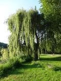 A weeping willow. In the park Stock Images