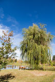 Weeping Willow in Park. By bench and lake Stock Images