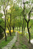 Weeping Willow Path. A path surrounded by weeping willow trees stock photography