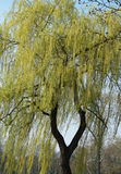 Weeping willow. The picture shows a weeping willow stock image