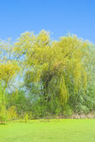 Weeping willow at pond Royalty Free Stock Image