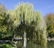 Weeping willow at a pond Royalty Free Stock Image