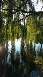 Weeping willow. Pond, tree royalty free stock photos