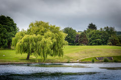 Weeping Willow. A weeping willow on a rainy day stock photography