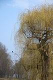 Weeping willow and a raven Stock Photo