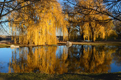 Weeping Willow Reflection royalty free stock photos