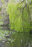 Weeping willow and reflections Stock Photos