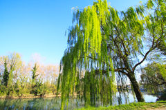 Weeping willow. A weeping willow in a river stock images