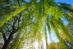 Weeping willow. A weeping willow in a river royalty free stock photos