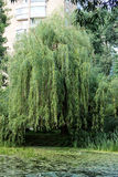 Weeping willow. By the river stock image