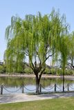 Weeping willow on the river bank in the summer. cityscape. Weeping willow on the river bank in the summer. cityscape Royalty Free Stock Photos