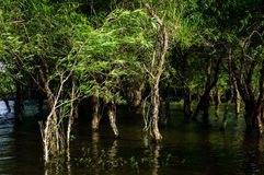 Weeping willow in river. Weeping willow trees blowing in the wind in water stock photos
