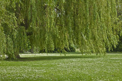 Weeping willow on the riverbank spring day Stock Images