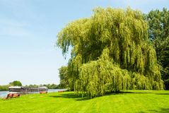 Weeping willow at the riverside. In summer stock photo