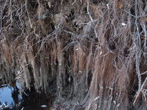 Weeping willow roots Royalty Free Stock Image