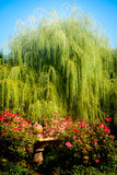 Weeping Willow and Roses Royalty Free Stock Image