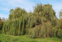 Weeping willow tree. Weeping willow (Salix babylonica) aka Babylon willow tree stock photos