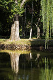 Weeping willow (Salix babylonica) Stock Photos