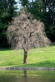 Weeping willow or Salix babylonica tree without leaves next to river surrounded with freshly cut grass with trees in background. Weeping willow or Salix royalty free stock photo