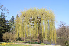 Weeping willow  (salix babylonica) Royalty Free Stock Images
