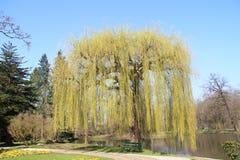 Weeping willow  (salix babylonica) Stock Image