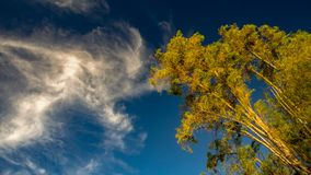 A weeping willow seems to be touched by a cloud. In the sunset, at the Andean mountains of central Colombia stock photos