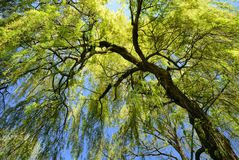 Weeping willow in spring. Worm's-eye view of a fresh green weeping willow with spring's clear blue sky in the background royalty free stock images