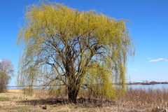 Weeping willow at spring Stock Images